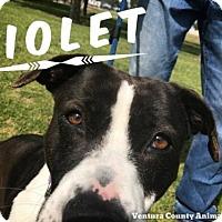 Adopt A Pet :: VIOLET - Camarillo, CA