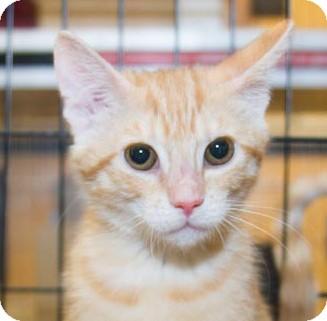Domestic Shorthair Kitten for adoption in Irvine, California - Sadie