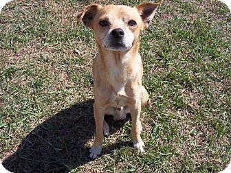 Chihuahua Mix Dog for adoption in Tampa, Florida - Elijah