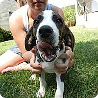 Adopt A Pet :: Nicco - South Jersey, NJ