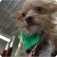 Adopt A Pet :: Scooby - Arlington, TX