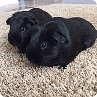Adopt A Pet :: Ralph and Hugo - Fullerton, CA