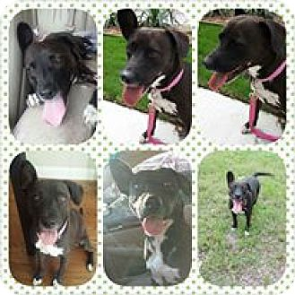 Labrador Retriever/Pit Bull Terrier Mix Dog for adoption in Arlington, Texas - Reba