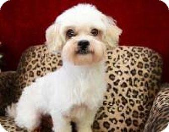 Lhasa Apso Mix Dog for adoption in Houston, Texas - Singer Cartwright