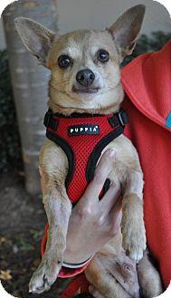 Chihuahua Mix Dog for adoption in Atlanta, Georgia - Sully