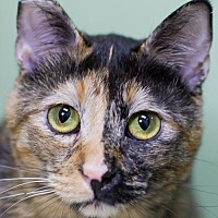 Domestic Shorthair Cat for adoption in Auburn, California - Fanny