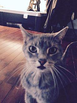 Domestic Shorthair Cat for adoption in Spring Grove, Pennsylvania - Nimh (courtesy posting)