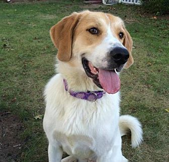 Great Pyrenees/Labrador Retriever Mix Dog for adoption in Enfield, Connecticut - Adele