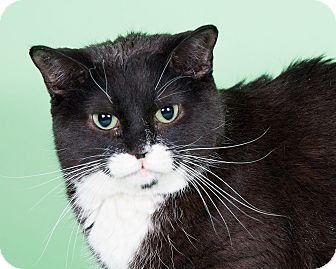 Domestic Shorthair Cat for adoption in Wheaton, Illinois - Remly