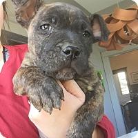 Adopt A Pet :: Gustav - no longer accepting a - Manchester, NH