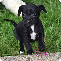 Adopt A Pet :: Opal - Concord, CA