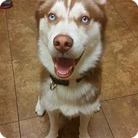 Adopt A Pet :: Zeus - Clearwater, FL