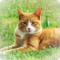 Adopt A Pet :: Little Tom - Clarksville, TN