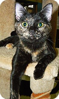 Domestic Shorthair Cat for adoption in Converse, Texas - Candle