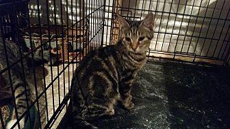 Domestic Shorthair Kitten for adoption in Ocala, Florida - ZaZu