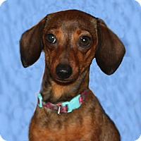 Adopt A Pet :: Molly - Louisville, CO