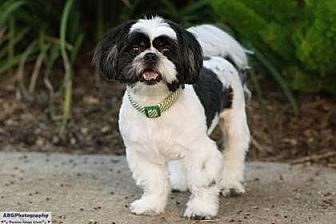 Lhasa Apso Mix Dog for adoption in Santa Fe, Texas - Branson