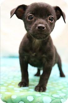 Miniature Pinscher Mix Puppy for adoption in Hagerstown, Maryland - Onyx