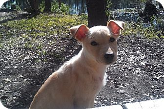 Labrador Retriever Mix Puppy for adoption in Kingwood, Texas - Luz