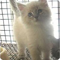 Adopt A Pet :: Lambrusco - Acme, PA