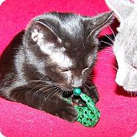 Adopt A Pet :: Sashimi - St. Louis, MO
