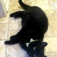 Domestic Shorthair Cat for adoption in Stevensville, Maryland - Kanga