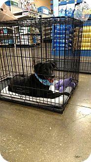 Labrador Retriever Mix Dog for adoption in Liberty, Missouri - Coco