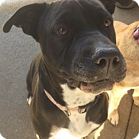 Pit Bull Terrier/Shar Pei Mix Dog for adoption in Granby, Colorado - Sky