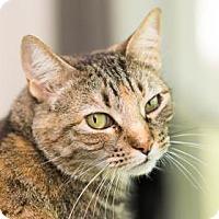 Domestic Shorthair Cat for adoption in Santa Fe, Texas - Judy