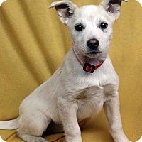 Adopt A Pet :: Bray - Westminster, CO