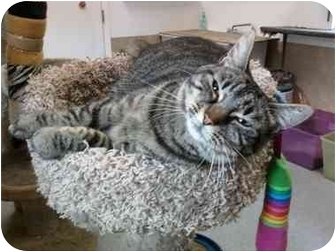Domestic Shorthair Cat for adoption in Delmont, Pennsylvania - Isabella