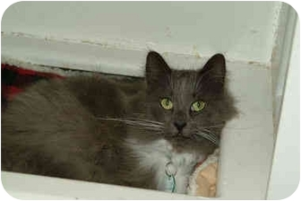 Domestic Longhair Cat for adoption in Cleveland, Ohio - Rafters is floating
