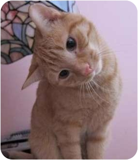 Domestic Shorthair Cat for adoption in Merrifield, Virginia - Copper