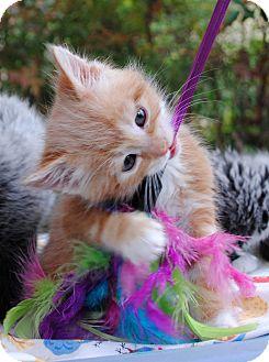 Domestic Mediumhair Kitten for adoption in Palmdale, California - Motzart