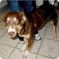 Adopt A Pet :: Gus - Albuquerque, NM