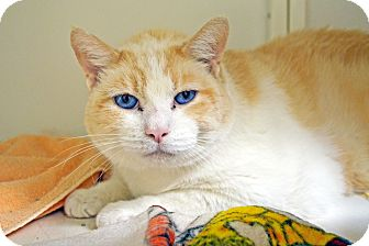 Domestic Shorthair Cat for adoption in Lincoln, Nebraska - Rusty