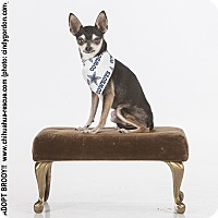 Adopt A Pet :: Brody - Dallas, TX