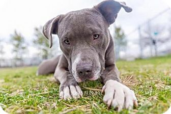 Pit Bull Terrier Dog for adoption in Chicago, Illinois - Dozer-Crooked toothed, banana loving snuggle bug!