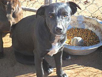Beagle/Labrador Retriever Mix Dog for adoption in Anton, Texas - Happy