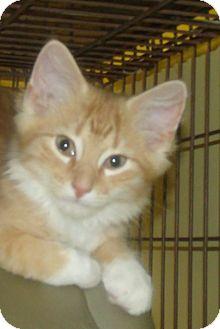 Domestic Longhair Kitten for adoption in Acme, Pennsylvania - SHAMEOUS