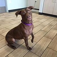 American Pit Bull Terrier Mix Dog for adoption in Scottsdale, Arizona - Bullet