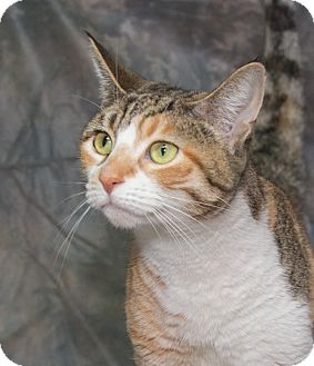 Domestic Shorthair Cat for adoption in Elmwood Park, New Jersey - Ginger