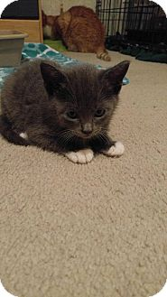 Domestic Shorthair Kitten for adoption in Golsboro, North Carolina - KOHL