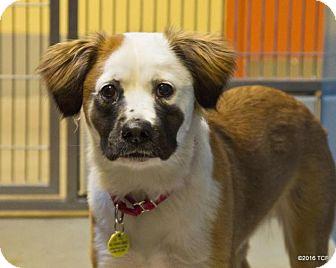 Australian Shepherd Mix Dog for adoption in Bellingham, Washington - Aurora