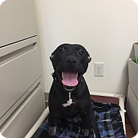 American Staffordshire Terrier/American Pit Bull Terrier Mix Dog for adoption in Avon, Ohio - Mystic
