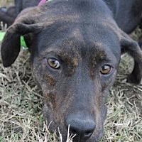 Adopt A Pet :: Shy Tara - New Roads, LA