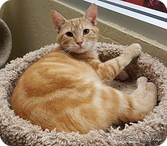 Domestic Shorthair Cat for adoption in Fresno, California - Snicklefritz