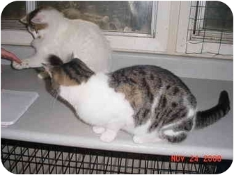 Domestic Shorthair Cat for adoption in Pendleton, Oregon - Molly