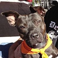 Adopt A Pet :: Blair - Lapeer, MI