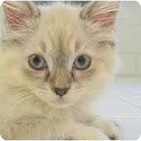 Adopt A Pet :: Diamond - Arlington, VA